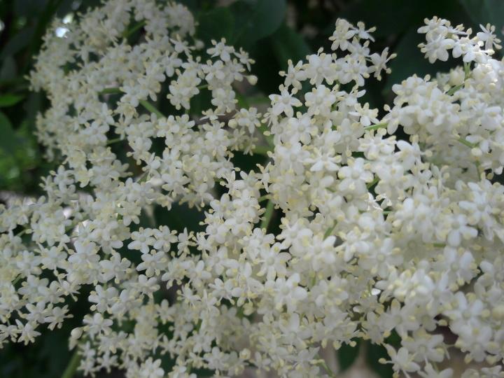 fleur de sureau,