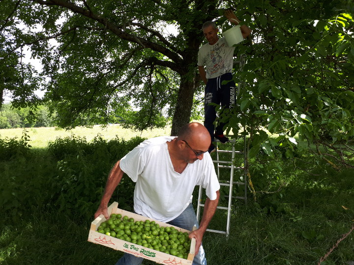noux vertes, récolte de noix vertes